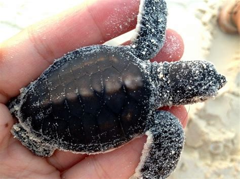 Look At These Rare Baby Albino Sea Turtles