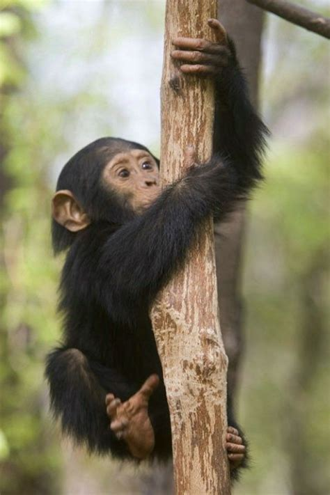 Baby monkeys and apes (including humans) will grasp things